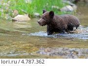 Купить «Медвежонок  в воде», фото № 4787362, снято 5 июня 2013 г. (c) Эдуард Кислинский / Фотобанк Лори