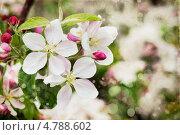 Купить «Цветущая яблоня», фото № 4788602, снято 12 мая 2013 г. (c) Наталия Кленова / Фотобанк Лори