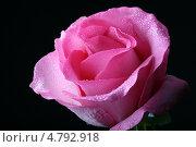 Купить «Розовая роза на черном фоне», фото № 4792918, снято 10 января 2008 г. (c) Иван Михайлов / Фотобанк Лори