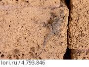 Купить «Ящерица Агама-гардун на камнях древнеримского акведука, Израиль», фото № 4793846, снято 21 июня 2013 г. (c) Олег Хмельниц / Фотобанк Лори