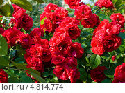 Плетистая роза. Стоковое фото, фотограф Екатерина Жукова / Фотобанк Лори