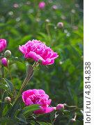 Пион молочноцветковый ( Paeonia lactiflora) — вид травянистых многолетних растений рода Пион семейства Пионовые (Paeoniaceae). Цветущий куст. Стоковое фото, фотограф Евгений Мухортов / Фотобанк Лори