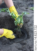 Высадка помидорной рассады в грунт. Стоковое фото, фотограф Александр Пащенко / Фотобанк Лори