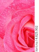 Красивая роза с каплями росы. Стоковое фото, фотограф Digifuture / Фотобанк Лори