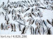 Выловленный байкальский омуль лежит в снегу на поверхности озера, эксклюзивное фото № 4826286, снято 13 марта 2013 г. (c) Николай Винокуров / Фотобанк Лори