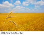 Купить «Колосья пшеницы на фоне поля», фото № 4826742, снято 24 июня 2013 г. (c) Александр Лесик / Фотобанк Лори