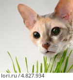Кошка корниш-рекс в траве. Стоковое фото, фотограф Digifuture / Фотобанк Лори