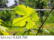 Листья винограда. Стоковое фото, фотограф Сергей Катилов / Фотобанк Лори