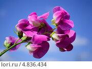 Цветок гороха. Стоковое фото, фотограф Андрій Бабяк / Фотобанк Лори