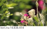 Купить «Бабочки сидят на розовом цветке», видеоролик № 4838414, снято 24 июня 2013 г. (c) Юрий Александрович Балдин / Фотобанк Лори