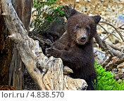 Купить «Медвежонок в лесу», фото № 4838570, снято 5 июня 2013 г. (c) Эдуард Кислинский / Фотобанк Лори