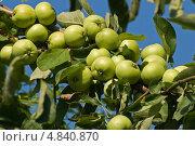 Ветка с зелеными яблоками на фоне неба. Стоковое фото, фотограф Екатерина Жукова / Фотобанк Лори