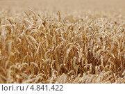 Купить «Пшеничное поле», фото № 4841422, снято 20 июля 2012 г. (c) Иван Михайлов / Фотобанк Лори