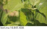 Купить «Зеленый кузнечик на стебле растения», видеоролик № 4841438, снято 24 июня 2013 г. (c) Юрий Александрович Балдин / Фотобанк Лори