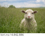 Купить «Овечка в траве», фото № 4842886, снято 2 июня 2013 г. (c) Артём Смольняков / Фотобанк Лори