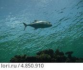Купить «Тунец в красном море,фото сделанное в воде», фото № 4850910, снято 13 июня 2013 г. (c) Робул Дмитрий / Фотобанк Лори