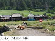 Коровы на ветхом деревянном мосту в поселке у подножия горы Иремель (2013 год). Стоковое фото, фотограф Анастасия Новодержкина / Фотобанк Лори