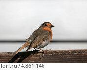 Купить «Зарянка, лат. Erithacus rubecula», фото № 4861146, снято 16 июля 2013 г. (c) Aleksander Kaasik / Фотобанк Лори