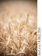 Купить «Колося пшеницы», фото № 4862350, снято 2 июля 2013 г. (c) Дмитрий Калиновский / Фотобанк Лори