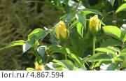 Купить «Бутоны желтой розы», видеоролик № 4867594, снято 15 июля 2013 г. (c) Андрей Некрасов / Фотобанк Лори