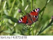 Бабочка павлиний глаз. Стоковое фото, фотограф Юлия Соловьёва / Фотобанк Лори