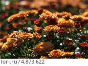 Рыжие хризантемы. Стоковое фото, фотограф Юлия Соловьёва / Фотобанк Лори