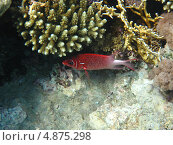 Купить «Коралловая рыбка красного цвета», фото № 4875298, снято 12 июня 2013 г. (c) Робул Дмитрий / Фотобанк Лори