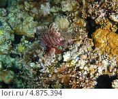 Купить «Морской петух», фото № 4875394, снято 13 июня 2013 г. (c) Робул Дмитрий / Фотобанк Лори