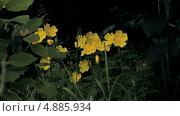 Купить «Желтые луговые цветы», видеоролик № 4885934, снято 24 июня 2013 г. (c) Юрий Александрович Балдин / Фотобанк Лори