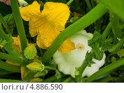 Купить «Патиссон, растущий на грядке - все стадии развития - бутоны, цветы, завязи, плод», фото № 4886590, снято 21 июля 2013 г. (c) Леонид Штандель / Фотобанк Лори