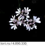 Так цветёт кинза. Стоковое фото, фотограф Владимир Цатурян / Фотобанк Лори