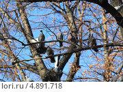 Купить «Голуби на дереве», эксклюзивное фото № 4891718, снято 11 октября 2012 г. (c) Анатолий Матвейчук / Фотобанк Лори