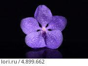 Орхидея Ванда фиолетовая на черном фоне. Стоковое фото, фотограф Смирнова Маргарита / Фотобанк Лори