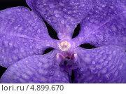 Орхидея Ванда фиолетовая с каплями воды. Стоковое фото, фотограф Смирнова Маргарита / Фотобанк Лори