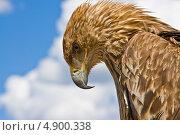 Орел на фоне голубого неба с облаками. Стоковое фото, фотограф Сергей Красавин / Фотобанк Лори