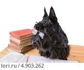 Купить «Черный Скотч терьер читает книгу», фото № 4903262, снято 10 июля 2013 г. (c) Наталия Евмененко / Фотобанк Лори