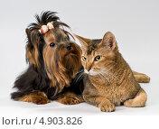 Купить «Котёнок и щенок йоркширского терьера», фото № 4903826, снято 14 ноября 2011 г. (c) Vladimir Suponev / Фотобанк Лори