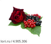 Купить «Смородина и роза», фото № 4905306, снято 13 июля 2013 г. (c) Елена Силкова / Фотобанк Лори