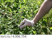 Мужская рука собирает крапиву. Стоковое фото, фотограф Irina Kolokolnikova / Фотобанк Лори