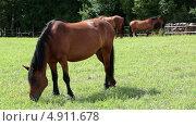 Купить «Пасущаяся коричневая лошадь в загоне», видеоролик № 4911678, снято 30 июля 2013 г. (c) Кекяляйнен Андрей / Фотобанк Лори