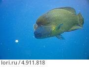 Рыба Наполеон (Cheilinus undulatus) самец и яйцо. Стоковое фото, фотограф Роман Прохоров / Фотобанк Лори