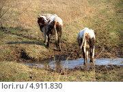 Коровы. Стоковое фото, фотограф Евгений Дедовец / Фотобанк Лори