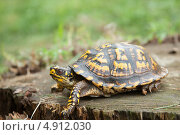 Черепаха. Стоковое фото, фотограф Petro Shostak / Фотобанк Лори