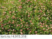 Купить «Клевер цветет. Цветочный фон», эксклюзивное фото № 4915318, снято 6 июля 2013 г. (c) Щеголева Ольга / Фотобанк Лори