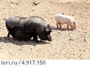 Купить «Минипиги в зоопарке», фото № 4917150, снято 17 июля 2013 г. (c) Ярослав Каминский / Фотобанк Лори