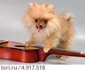 Купить «Померанский шпиц на гитаре», фото № 4917518, снято 29 июля 2013 г. (c) Vladimir Suponev / Фотобанк Лори