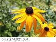 Купить «Крупно цветок рудбекии», эксклюзивное фото № 4921034, снято 7 июля 2013 г. (c) Наташа Антонова / Фотобанк Лори