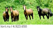 Дикие лошади. Стоковое фото, фотограф Vladimir Kropinov / Фотобанк Лори