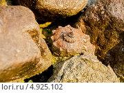 Ракушки среди камней. Стоковое фото, фотограф Мартин Кърнолски / Фотобанк Лори