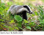 Купить «Барсук в естественной среде обитания», фото № 4929334, снято 5 июля 2013 г. (c) Эдуард Кислинский / Фотобанк Лори
